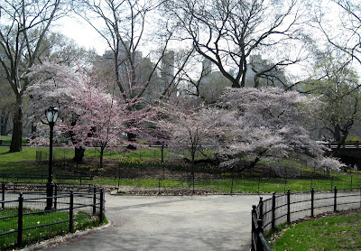 Spring Cherry Blossoms Central Park NYC