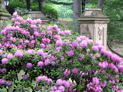 Azaleas flowering shrubs