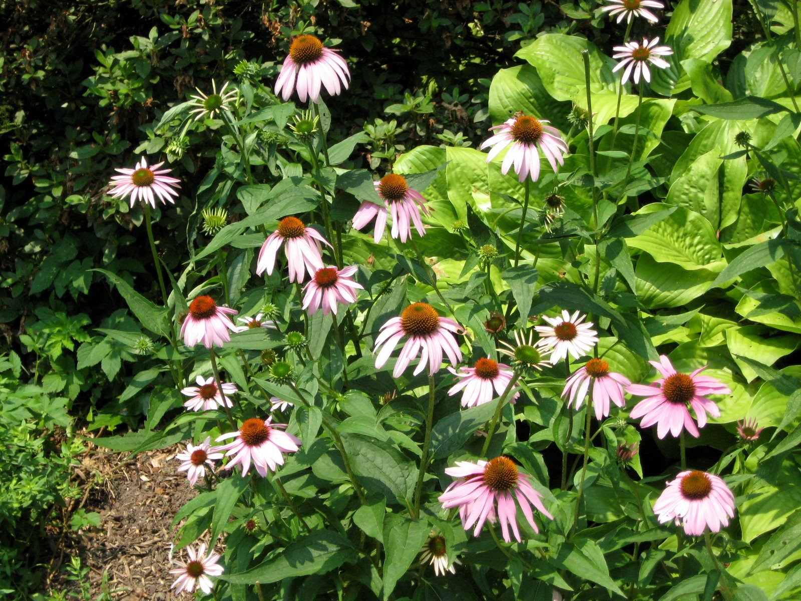 Eastern Purple Coneflower or Purple Coneflower Echinacea purpurea