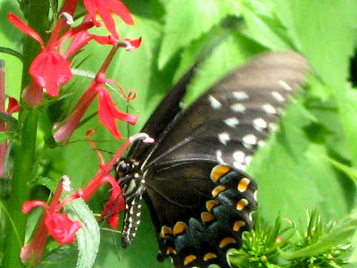 Black Spotted Butterfly