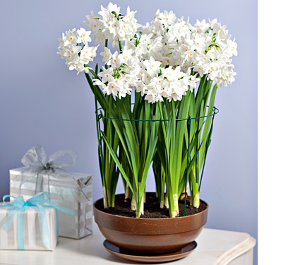 Forcing Paperwhites For Christmas Paper White