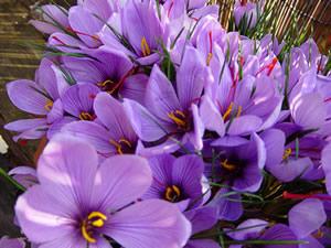 Chenab Industries Kashmir (CIK): Saffron Corms,Bulbs/Seeds ... Kashmiri Saffron Corms For Sale