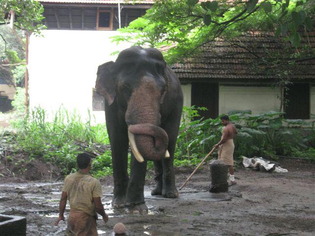For Elephant & Vlog Lovers: Guruvayoor Padmanabhan - photo#21