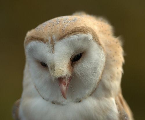 British Wildlife Centre ~ Keeper's Blog: Flying Owls