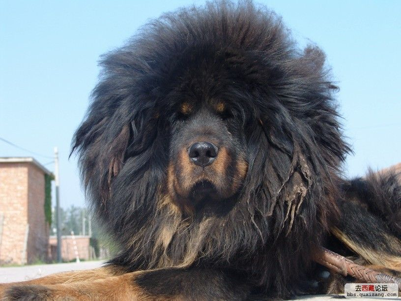 The Anonymous Dog Spot: LOOK AT THIS TIBETAN MASTIFF!!! I ...