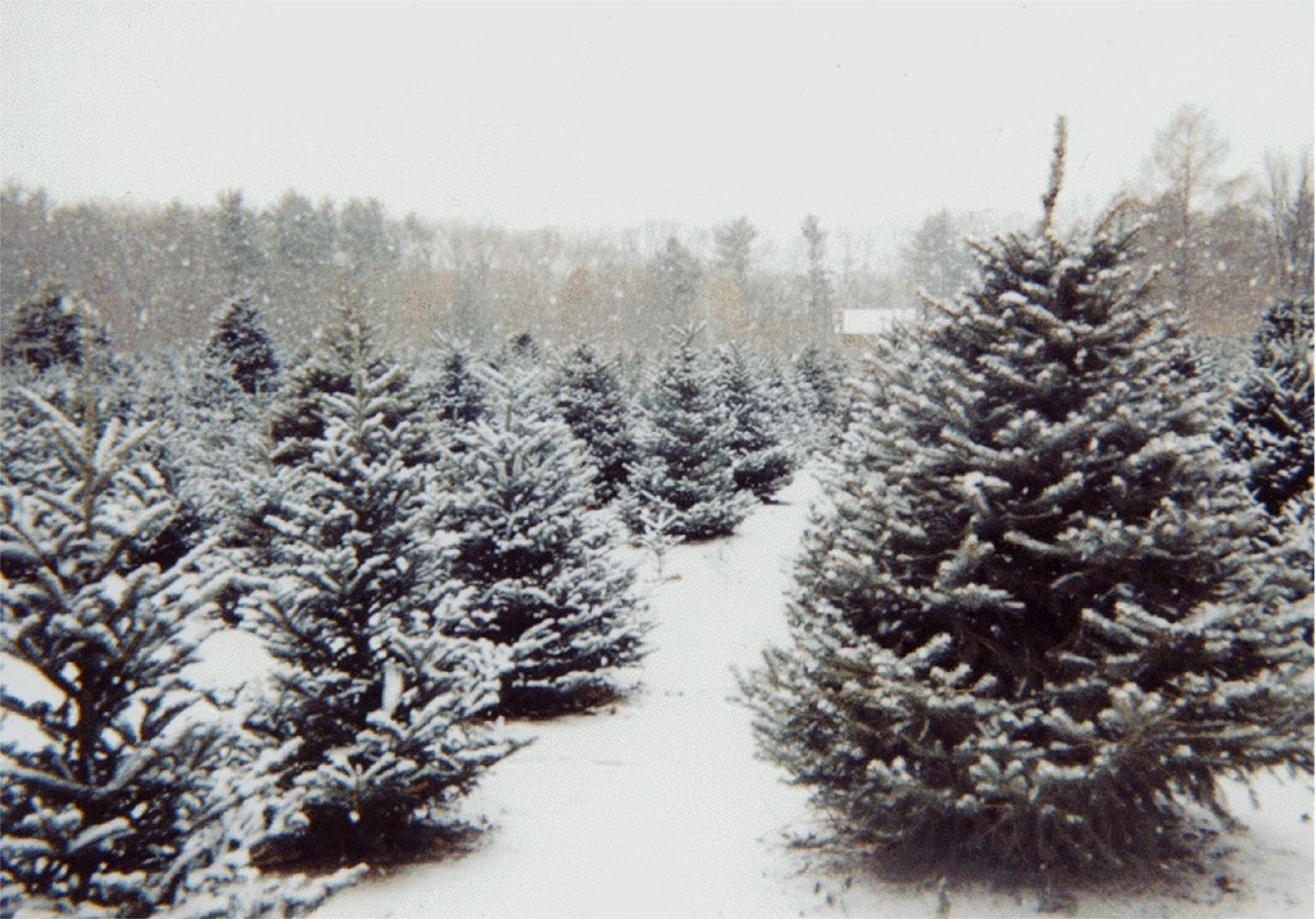 Miss Bee's Christmas Tree: How To Buy A Christmas Tree