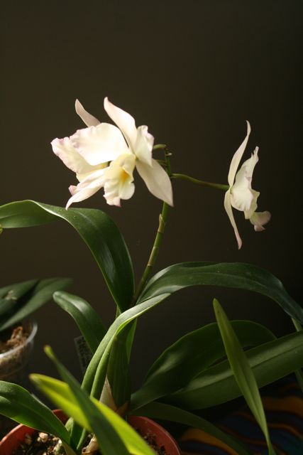 Julie Zickefoose on Blogspot: The Why of Orchids