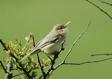 Melodious Warbler - May 2009