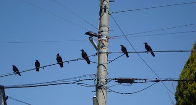 Crows in Japan