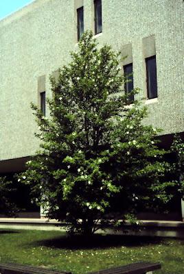 Car Sun Shade >> Victoria Gardens: Car Trunk Trees: Stewatia pseudocamllia ...