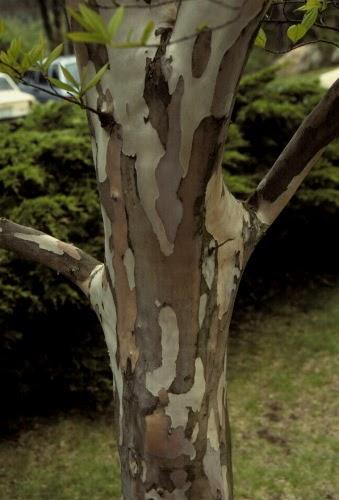 Victoria Gardens Car Trunk Trees Stewatia Pseudocamllia