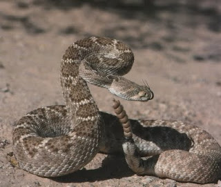 Nencihotel Il Serpente A Sonagli Crotalo