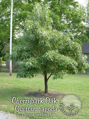 Cherry Bark Oak Tree Pictures