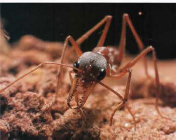 Semut Paling Berbahaya