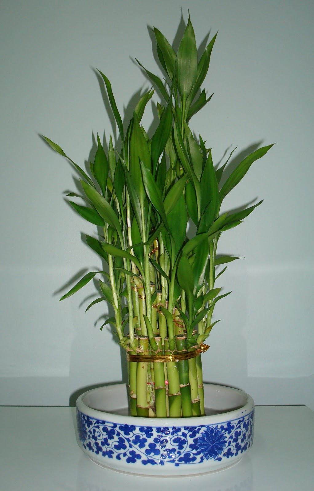 Bamboo House Plant ~ Red fox photographs diaries and thoughts lucky bamboo