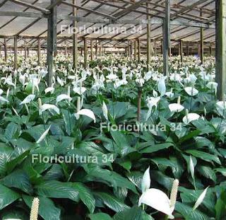 Floricultura 34 industria de las plantas de follaje for Que son plantas ornamentales