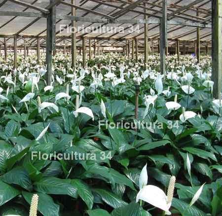 Floricultura 34 industria de las plantas de follaje for Todas las plantas ornamentales