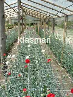 produccion de clavel en invernadero