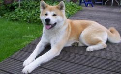 Dog Breeders Site Of The Philippines Akita Today S Featured Article