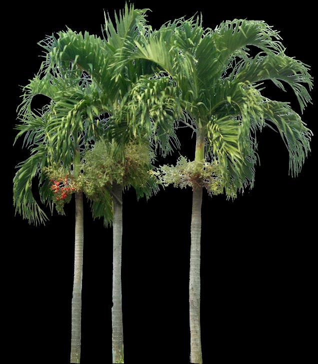 Tropical Plant Pictures: Veitchia merillii ( Christmas Palm )