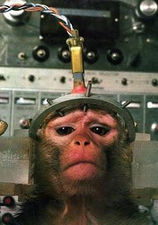 Los tubos y electrodos están permanente implantados en el cráneo de este animal.