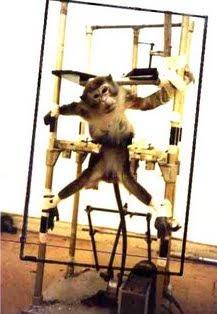 Mono preparado en máquina de inmovilización para estudios de neurología.