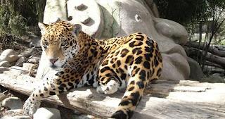 Jaguar en el Parque Zoológico Nacional de Chile.