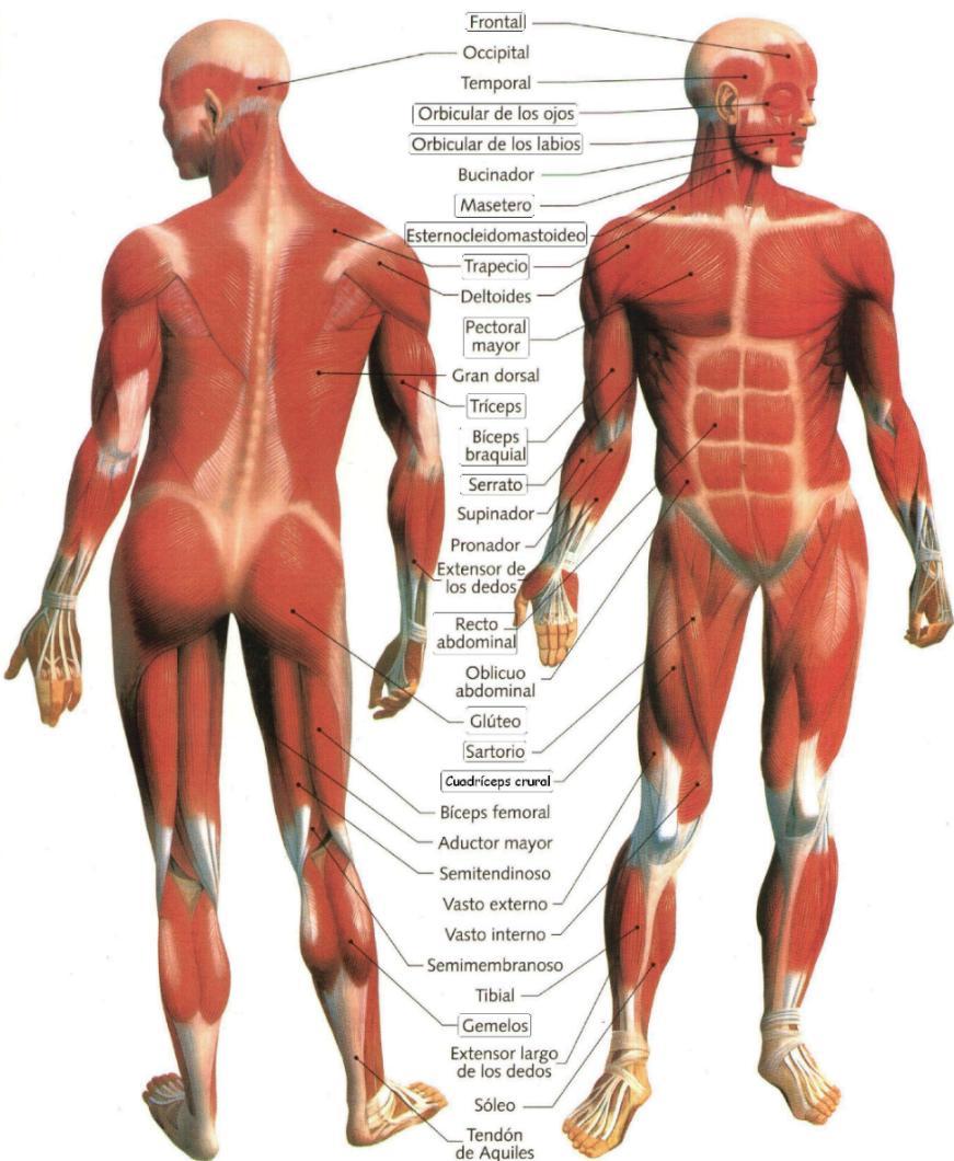 Educación Física en la Red: Principales músculos del cuerpo humano