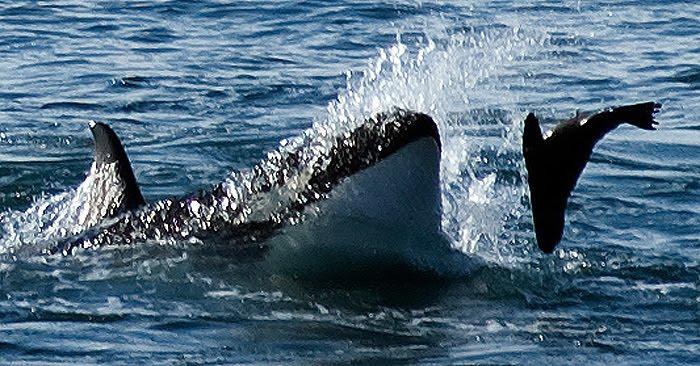 temporada de Orcas, ataque en las loberías de Punta Norte.
