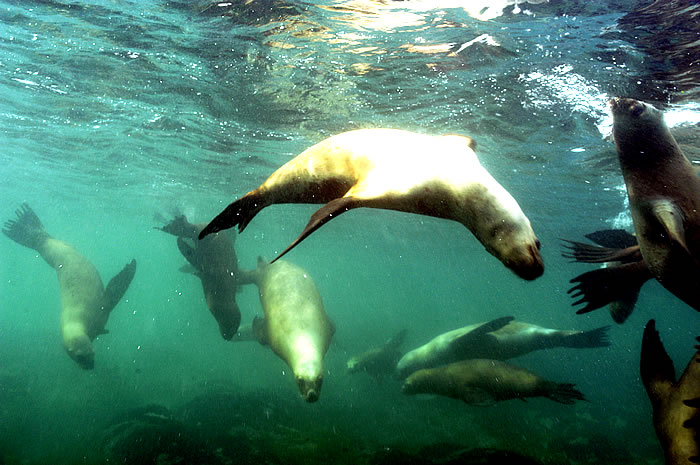 dive with Sea Lion peninsula valdes