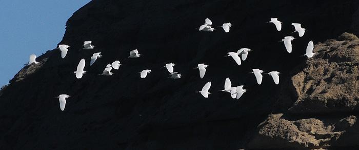 Garza Blanca, Ave Migratoria de Península Valdés Patagonia Argentina