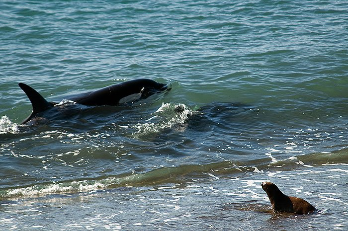 punta norte ataque de orcas