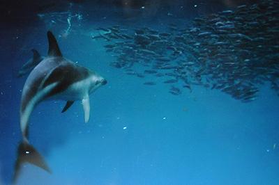 Delfín Oscuro en Península Valdés comiendo anchoas