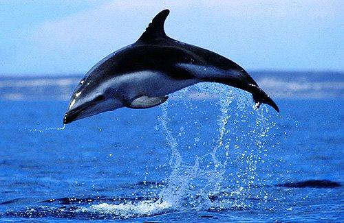 Mamíferos Marinos – Delfín Oscuro | Península Valdés un paraíso ...