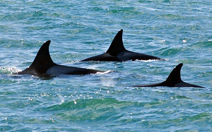 Orcas en Península Valdés