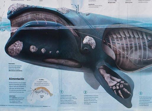 Mamiferos marinos ballena franca