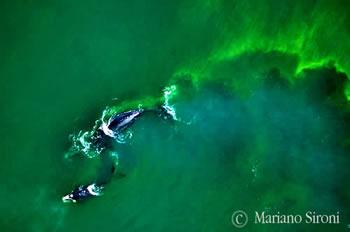 El calentamiento Global y la sopa de algas en El Golfo Nuevo