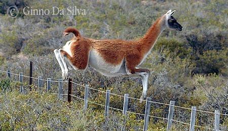 guanaco en península valdés saltando un alambrado