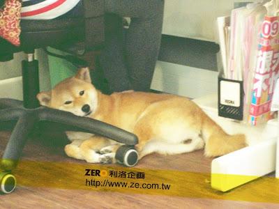 Zero Campaign Design Marketing: 正宗日本柴犬 利洛小公主「Malu」