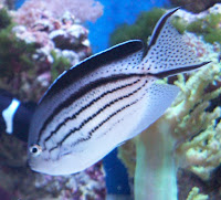 fish in our reef tank part 2 genicanthus angels the perfect reef