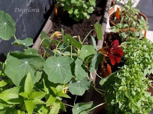 aromag rtnerei deaflora unverzichtbare kr uter auf dem balkon. Black Bedroom Furniture Sets. Home Design Ideas