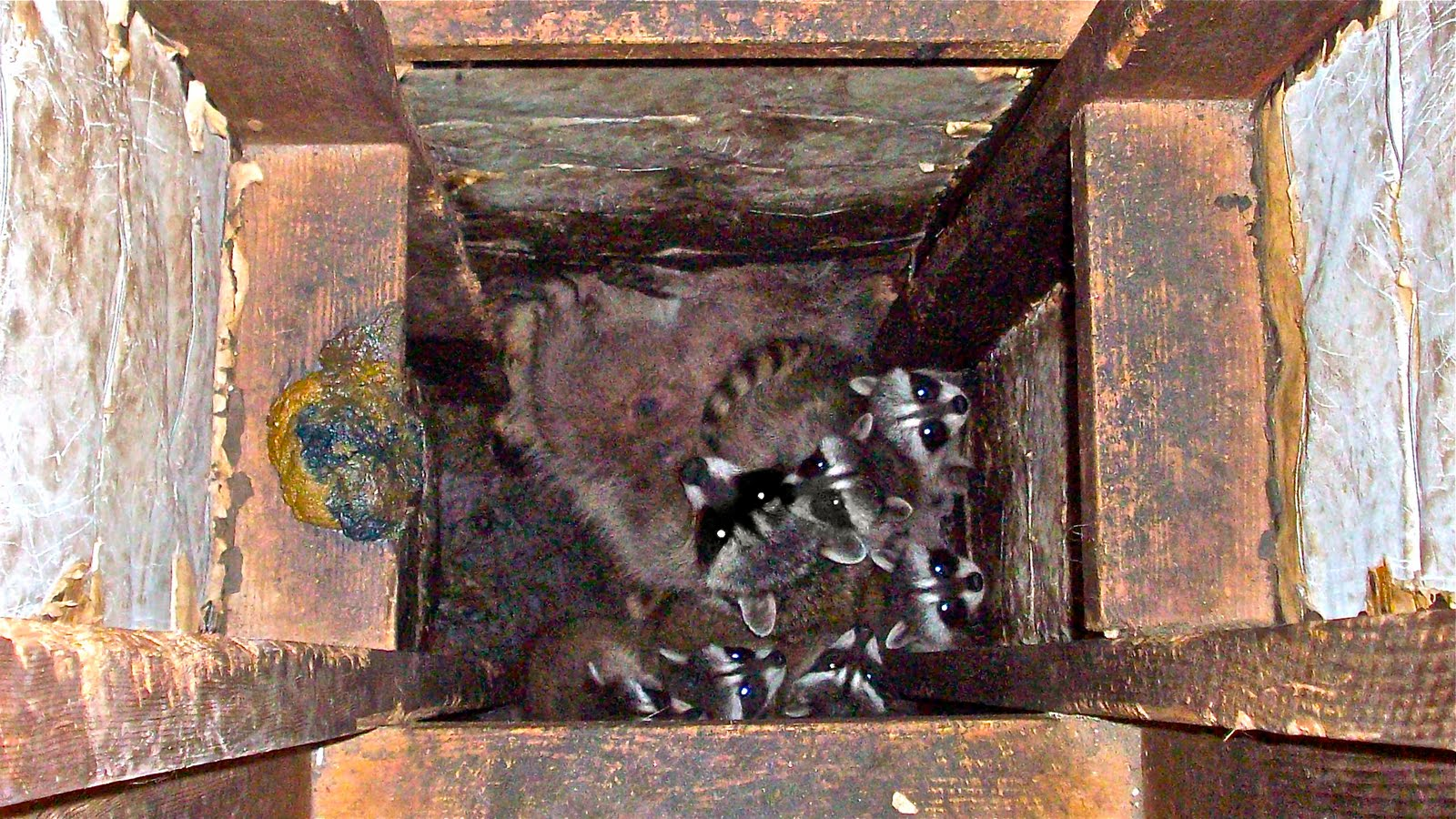 All City Animal Trapping Mother Raccoon Babies In My