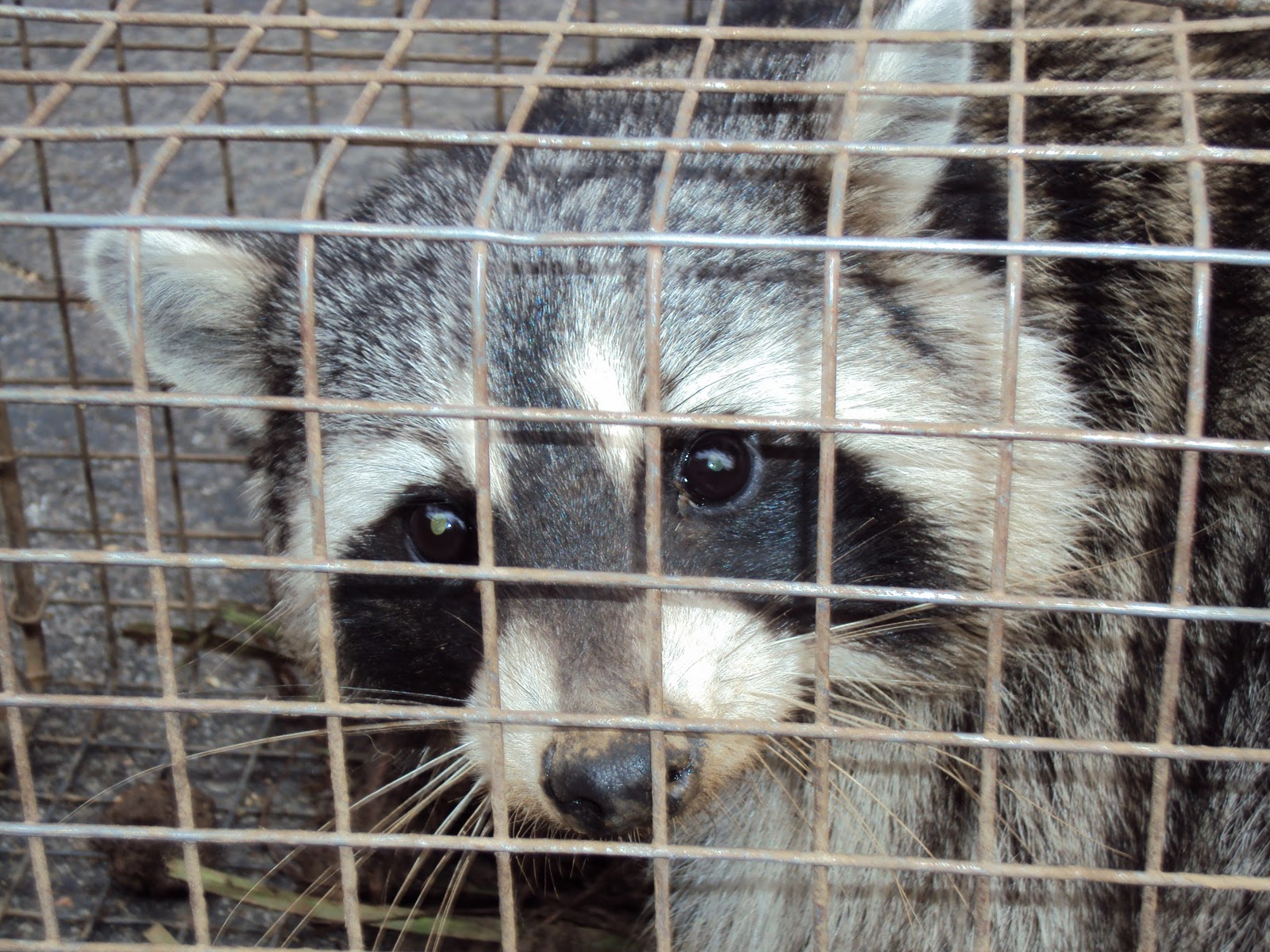 All City Animal Trapping Raccoon Removal In La And Orange