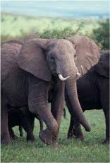 Elephant30%25