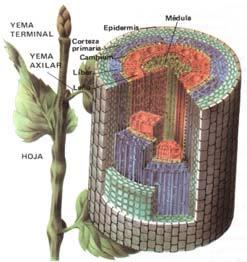 Morfologia En Plantas Superiores Tallo