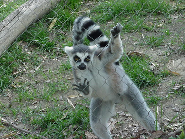 Lemurs Food Diet