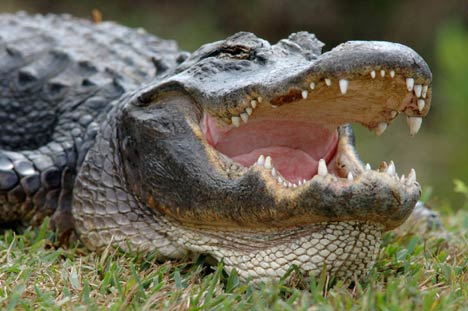 Image result for pics of alligators