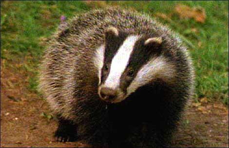 Tod In Badger'S Drift