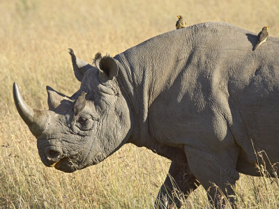 tick bird and rhinoceros relationship questions