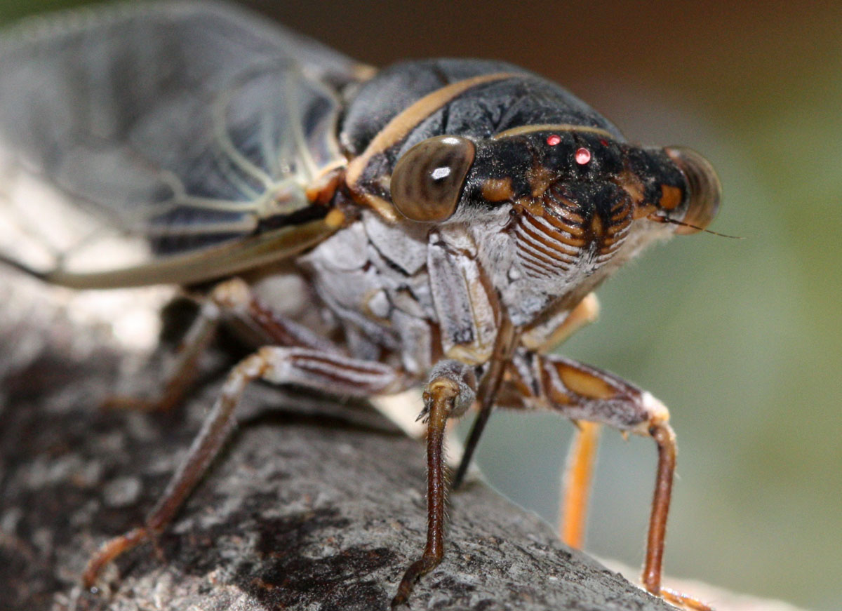 The Ketelsens Cicada Season